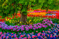 tulips and trees in Display Garden
