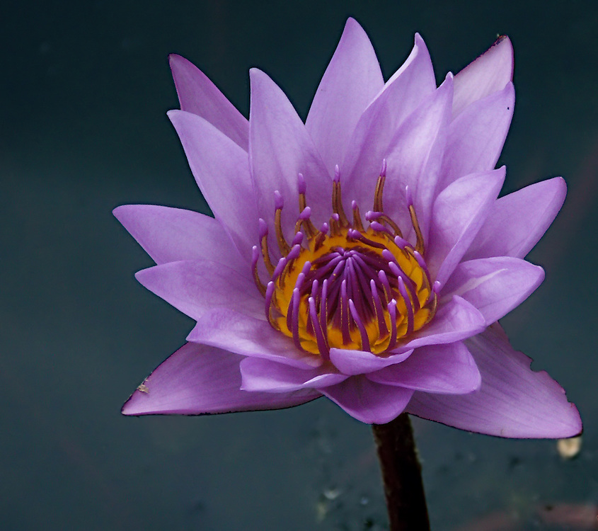 A water lily in full blossom.