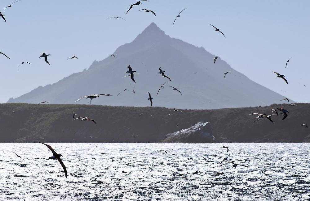 Albatrosses in flight off Steeple Jason, Falkland Islands