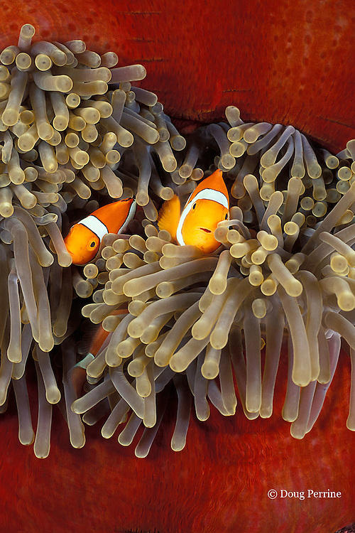 orange clownfish, blackfinned clownfish, or clown anemonefish, Amphiprion percula, in giant sea anemone, Heteractis magnifica, Kimbe Bay, New Britain, Papua New Guinea ( Bismarck Sea )
