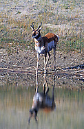 Pronghorn antelope drinking at a dunal pond in the Killpecker Sand Dunes. Red Desert in the Great Divide Basin, Wyoming