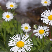 A photo of daisies and a waterfall in the Sierra mountains, CA.