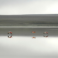"three flamingos fly over a lake in the ""Eduardo avaroa"" national reserve, Bolivia. The day was grey and the water calm."