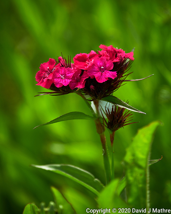 Sweet William, Dianthus. Image taken with a Nikon D850 camera and 70-300 mm VR lens.