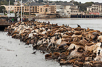California sea lions (Zalophus californianus) and cormorants (Phalacrocoracidae) line the sea wall near the harbor in Monterey, California.