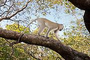 A vervet monkey (Chlorocebus pygerythrus) traversing a tree limb in Matobo National Park, part of the Motopos Hiils area in Zimbabwe. The park is an U.N. UNESCO World Hertiage Site. © Michael Durham / www.DurmPhoto.com