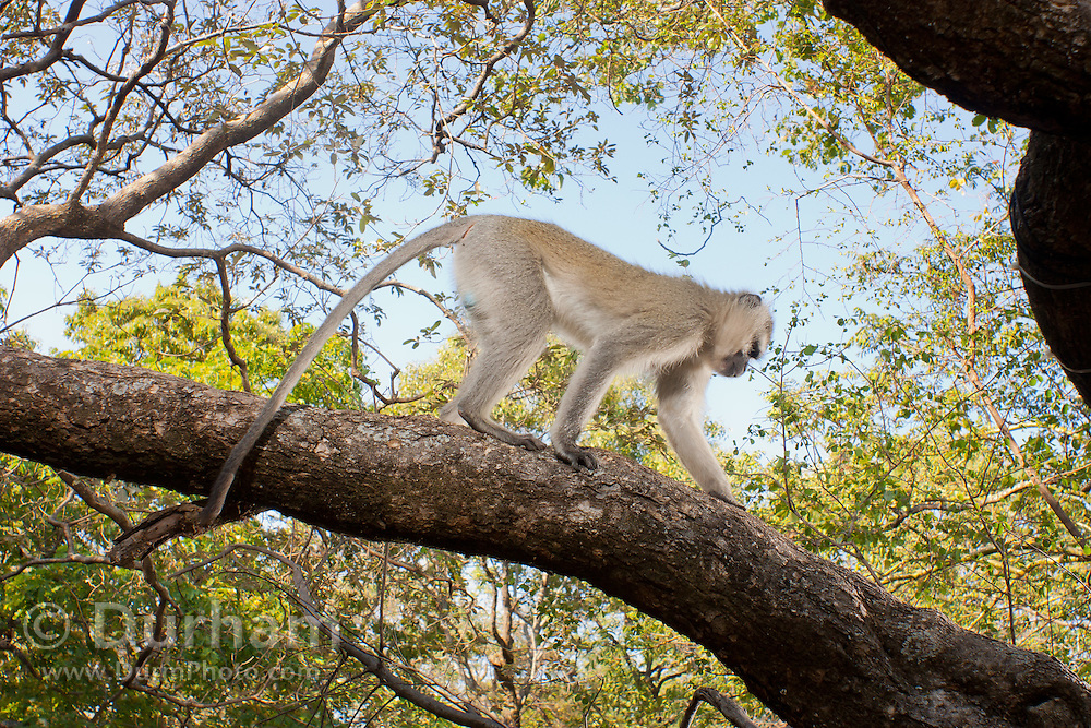 A vervet monkey (Chlorocebus pygerythrus) traversing a tree limb in Matobo National Park, part of the Motopos Hiils area in Zimbabwe. The park is an U.N. UNESCO World Hertiage Site. © Michael Durham / www.DurmPhoto.com