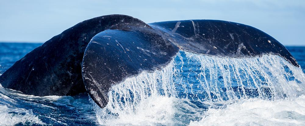 Humpback whale (Megaptera novaeangliae), Ha'apai - Tonga