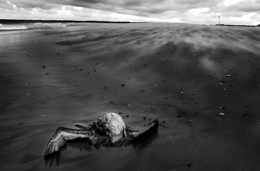A dead pelican lies on the wind-swept shore in Wrightsville Beach, NC.  Many species of fish are diminishing in numbers as a result of pollution and overfishing. Sea-life worldwide is being drastically effected by pollution, overfishing and other forms of human intrusion.