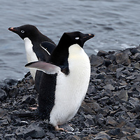 A pair of Adelie Penguins on Ross Island, in McMurdo Sound, Antarctica.
