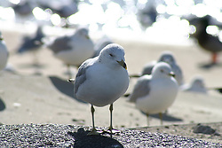 Lone seagull standing by itself