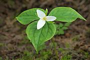 Western Trillium (Trillium ovatum); Elliott State Forest, Coast Range Mountains, Oregon.