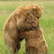 Brown bears mating behavior;  Brown bear lying on back in sedge meadow;  Lake Clark, Alaska in wild.