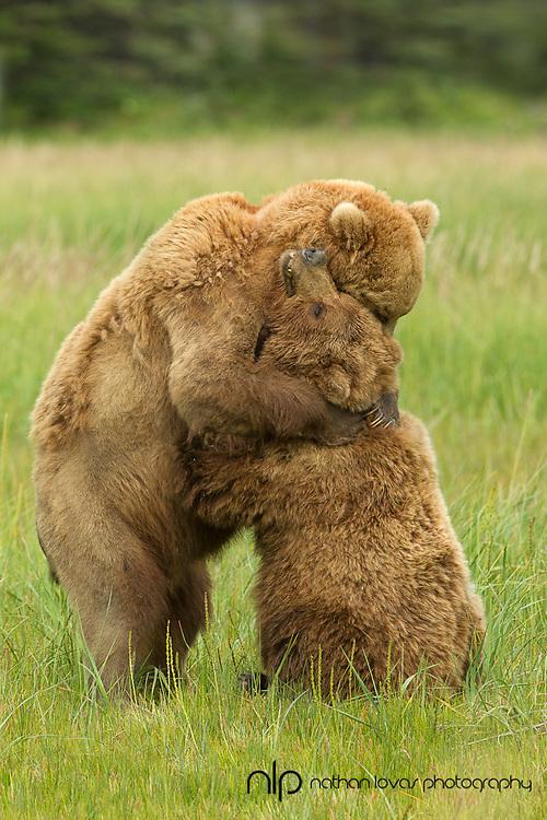 Brown bears mating behavior;  Brown bear lying on back in sedge meadow;  Lake Clark, Alaska in wild.