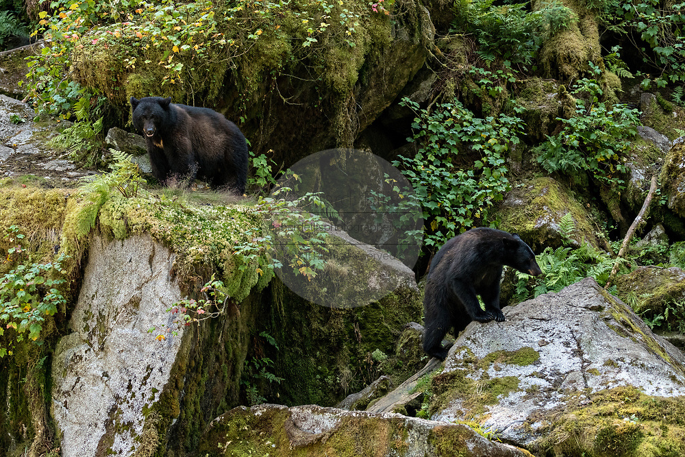 A large adult American black bear sow watches an intruder bear walks along a rock outcropping at Anan Creek in the Tongass National Forest, Alaska. Anan Creek is one of the most prolific salmon runs in Alaska and dozens of black and brown bears gather yearly to feast on the spawning salmon.