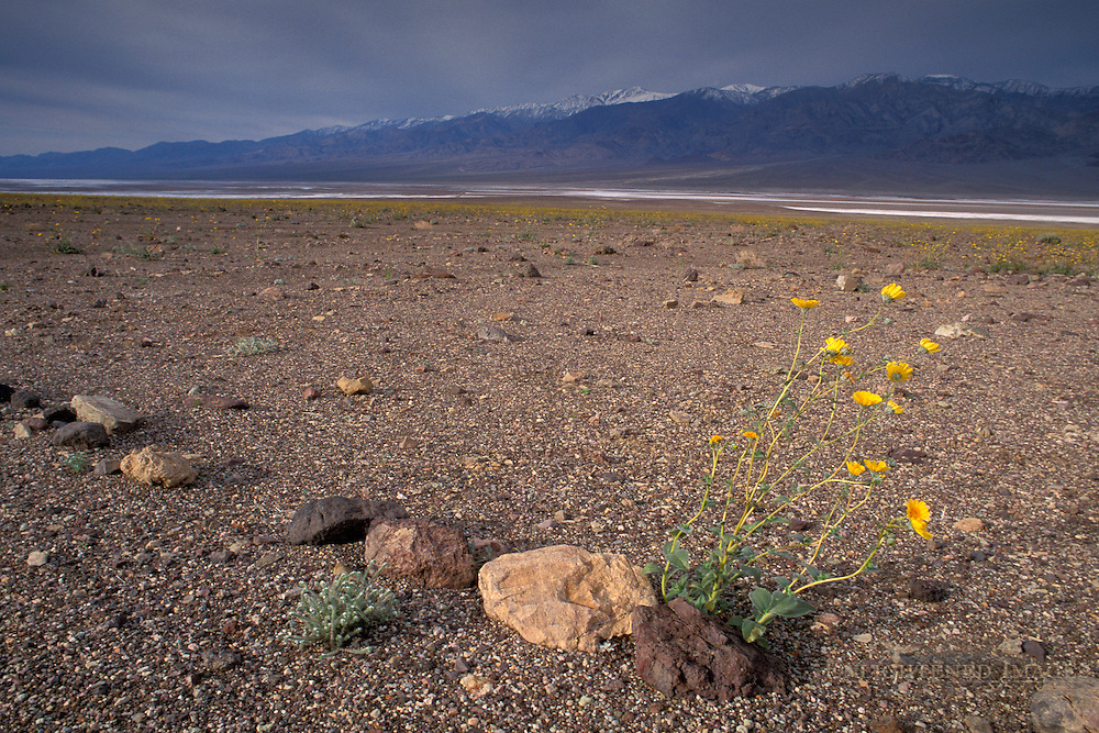 Storm clouds and wildflowers blooming in spring, Death Valley National Park, California