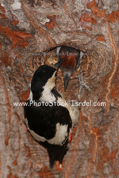 Syrian Woodpecker (Dendrocopos syriacus) At its nest feeding a young bird, The Syrian Woodpecker is a resident breeding bird from southeastern Europe east to Iran. Its range has expanded further northwest into Europe in recent years. Syrian Woodpecker is 23-25 cm long, and is very similar to the Great Spotted Woodpecker, Dendrocopos major. Photographed in Israel