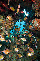 Dusky Sweepers in a Reef Cavern.Shot in West Papua Province, Indonesia