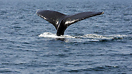 UNITED STATES-CAPE COD-Tail of a whale. PHOTO: GERRIT DE HEUS.VS-CAPE COD-PROVINCETOWN-De staarten van een walvis met kalf in de  Atlantische Oceaan.  PHOTO GERRIT DE HEUS