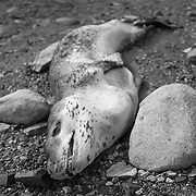 Leopard Seal carcass near Lake Fryxell station