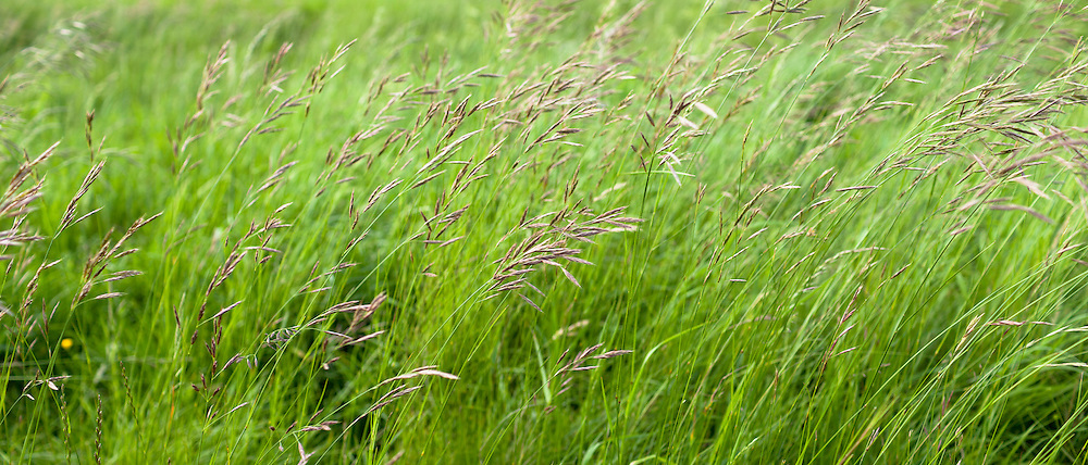 Wild ornamental grasses in grassland field in Oxfordshire, UK