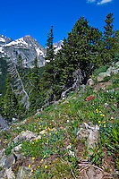 Wildflowers, Fourth of July trail in the Rocky Mountains, near Nederland, Colorado USA