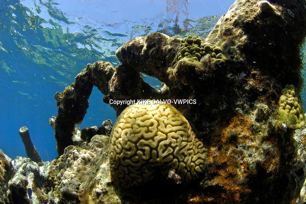 Brain coral, Coral reef at the Polisini Greek Wreck  (Kinsei Maru), Silver Banks Marine Sanctuary, Dominican Republic, Caribbean Sea