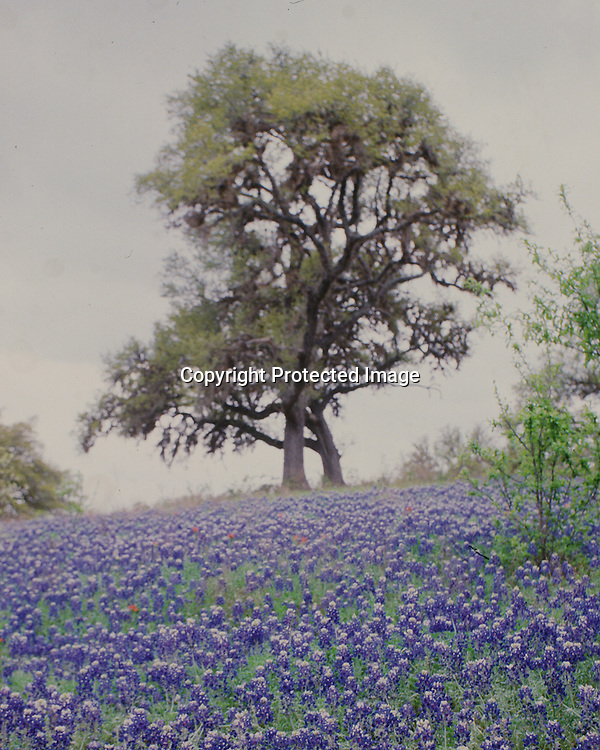 "Bluebonnets flow up a hill topped by a large oak tree on a misty day near Brenham, Texas. NOTE: Click ""Shopping Cart"" icon for available sizes and prices. If a ""Purchase this image"" screen opens, click arrow on it. Doing so does not constitute making a purchase. To purchase, additional steps are required."
