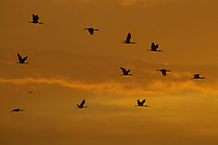 Scarlet Ibises (Eudocimus ruber) flying through the orange sky at sunset in Delta Amacuro, Venezuela.