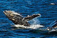 Humpback Whales - Glacier Bay
