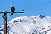 A bald eagle sits on a telephone pole near hot creek with Mammoth Mountain ski area in the background.