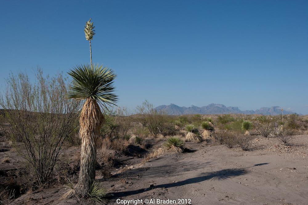 Thompson Yucca, (Yucca thompsoniana), at Big Bend National Park, Texas