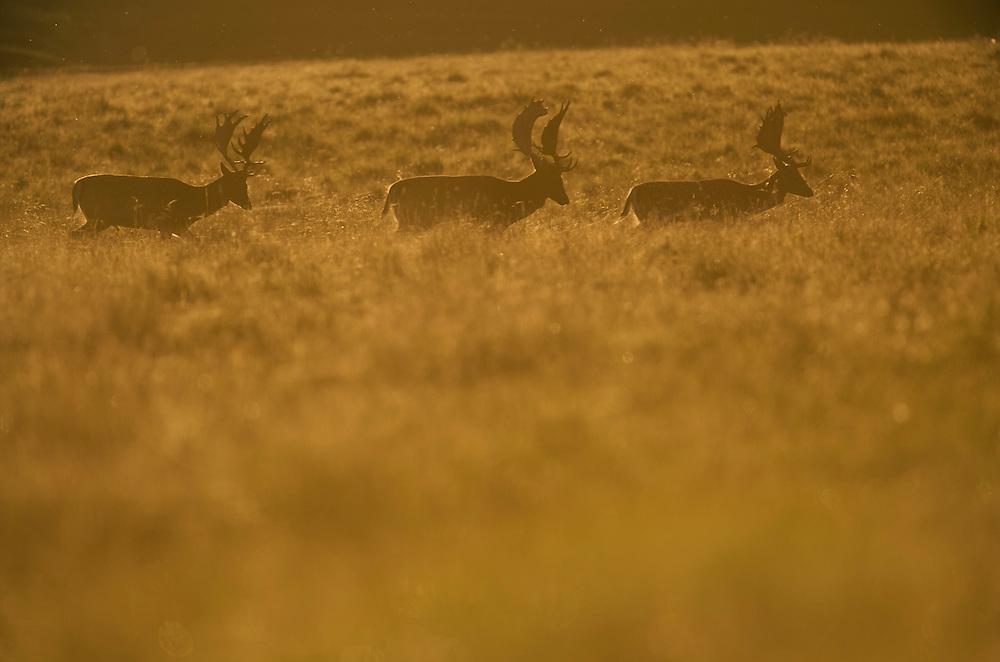 Three Fallow deer (Dama dama) stags on heathland in evening sun, Klampenborg Dyrehavn, Denmark (c) Fenced reserve enclosure.
