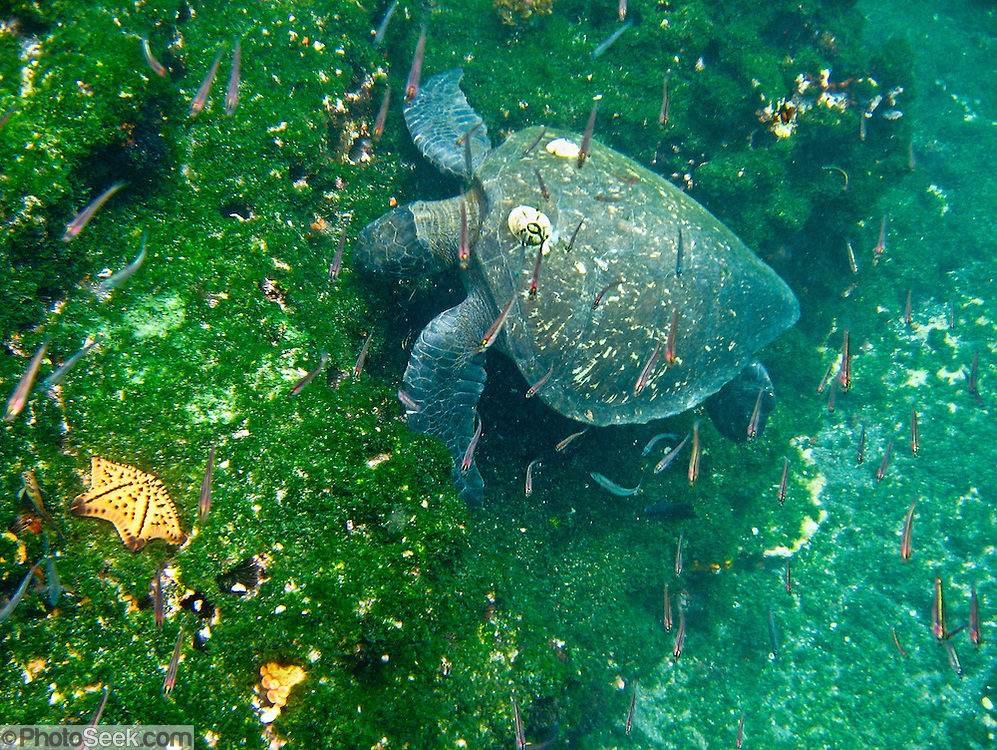 """A green sea turtle (Chelonia mydas) grazes underwater at Tagus Cove, on Isabela (Albemarle) Island, Galapagos Islands, Ecuador, South America. The """"green sea turtle"""" name comes from its greenish fat and flesh. The hues of its shell range from olive-brown to black in Eastern Pacific green turtles. The green turtle belongs to the family Cheloniidae and is the only species in the genus Chelonia. The species lives in tropical and subtropical seas around the world, with two distinct populations in the Atlantic and Pacific Oceans. It has a flattened body covered by a large, teardrop-shaped carapace and a pair of large, paddle-like flippers. Unlike other members of its family such as the hawksbill and loggerhead turtles, Chelonia mydas is mostly herbivorous (plant eating). The adults are commonly found in shallow lagoons, feeding mostly on various species of seagrass. In 1959, Ecuador declared 97% of the land area of the Galápagos Islands to be Galápagos National Park, which UNESCO registered as a World Heritage Site in 1978. Ecuador created the Galápagos Marine Reserve in 1998, which UNESCO appended in 2001."""