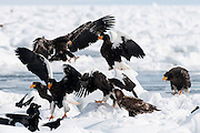 JAPAN, Eastern Hokkaido.Adult and juvenile Steller's sea eagles (Haliaeetus pelagicus) with.juvenile white-tailed sea eagle (Haliaeetus albicilla) and ravens (Corvus corax)
