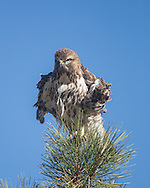 Juvenile red-tailed hawk in the top of a ponderosa pine tree rousing its feathers, © 2014 David A. Ponton