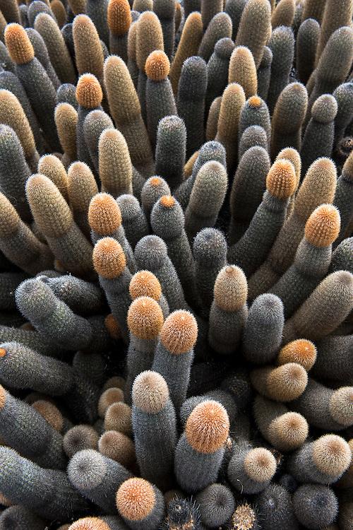 Lava Cactus (Brachycereus nesioticus)<br /> Espinosa Point<br /> Fernandina<br /> Galapagos<br /> Ecuador, South America