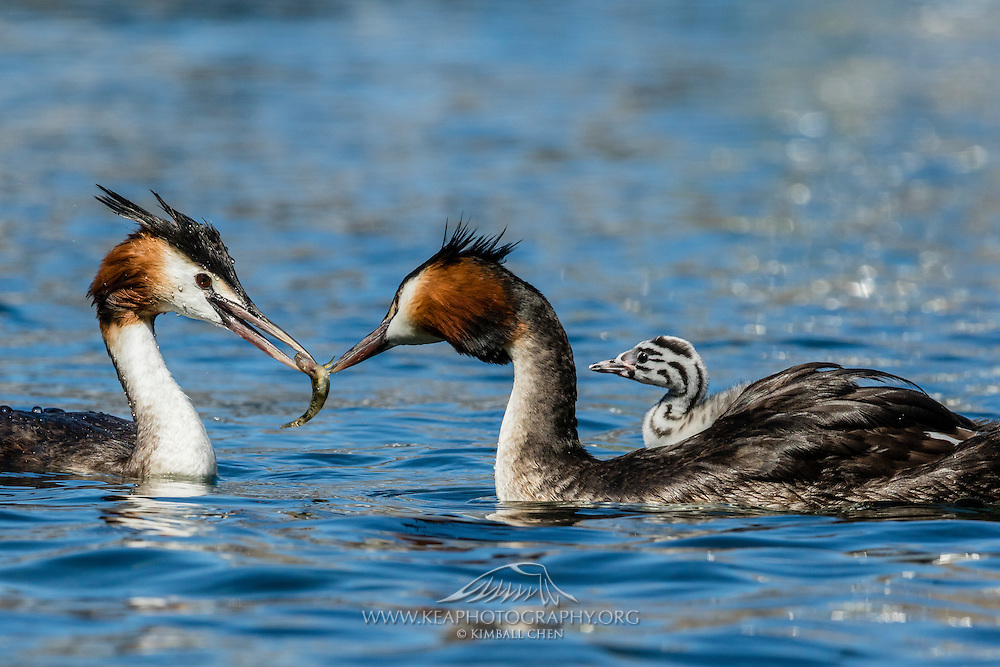 Australasian Crested Grebe passing on a freshly caught fish (bully), in preparation of feeding a newborn chick, at Lake Wanaka, New Zealand