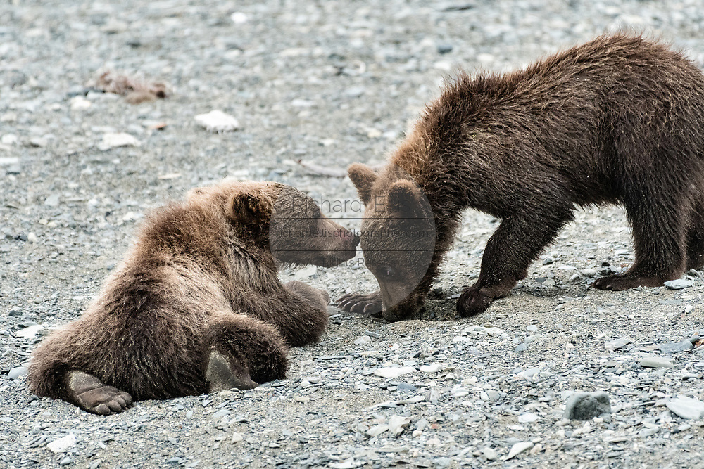 Brown bear cubs play on the beach at the McNeil River State Game Sanctuary on the Kenai Peninsula, Alaska. The remote site is accessed only with a special permit and is the world's largest seasonal population of brown bears in their natural environment.