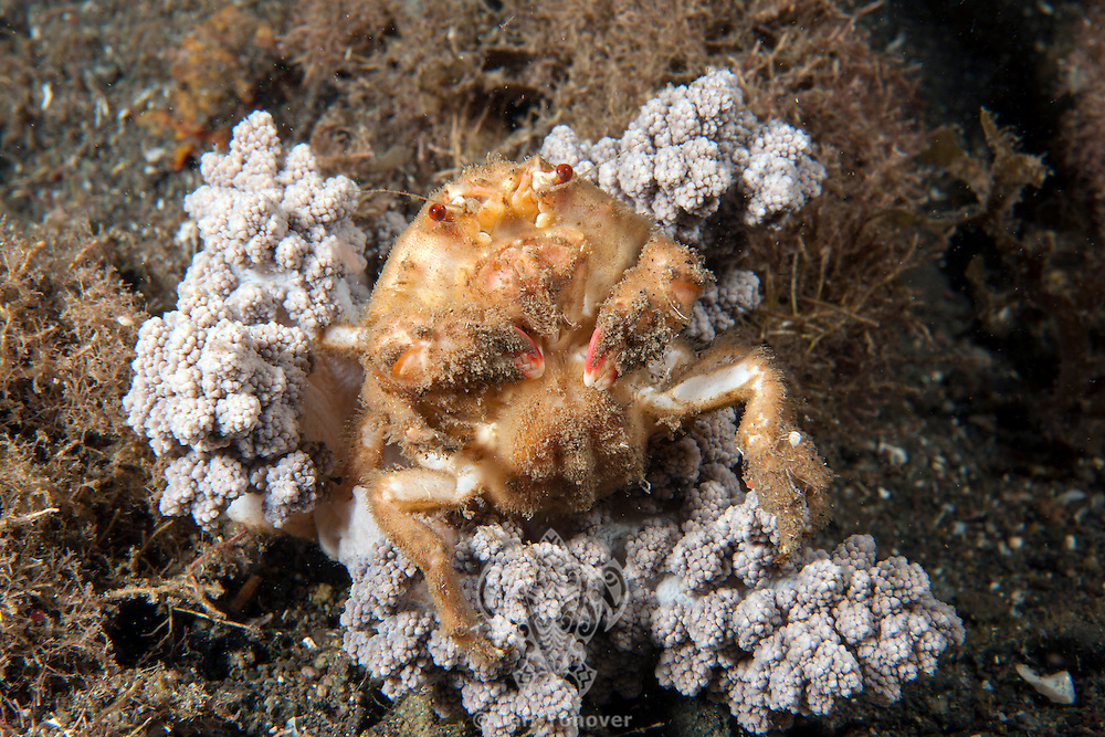 Decorator Crab shows its less protected underbody..Shot in Indonesia