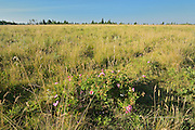 Roses growing in prairie<br /> Cypress Hills Provincial Park<br /> Alberta<br /> Canada