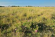 Roses growing in prairie<br /> Cypress Hills Provincial Park<br /> Alberta<br /> Canada