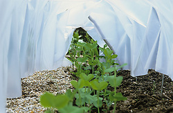 Young plants of Peas - 'Sugar Snap' protected by cloche