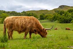 THEMENBILD - ein Schottisches Hochlandrind auf einer Weide nahe Fort William, Schottland, aufgenommen am 13.06.2015 // Scottish Highland cattle on a pasture near Fort William, Scotland on 2015/06/13. EXPA Pictures © 2015, PhotoCredit: EXPA/ JFK