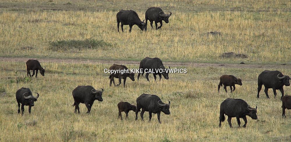 Migration at the Masai Mara National Park. Kenya. Africa
