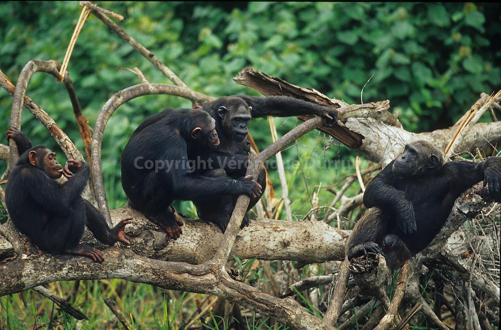 CHIMPANZEE, CONKOUATI-DOULI NATIONAL PARK, CONGO