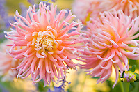 Closeup of dahlia flowers&#xA;<br />