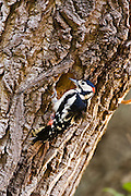 Great Spotted Woodpecker makes nesting hole in Poplar tree, Hampstead, London, United Kingdom