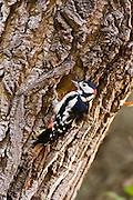 Great Spotted Woodpecker makes nesting hole in Poplar tree, Hampstead, London, United Kingdom