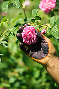 Close up of rose farmer Touda's henna stained hands picking a rose flower, Kelaat M'Gouna, Southern Morocco, 2016-05-14.<br /> <br /> Roses are mainly farmed in the Dades Valley to produce and sell rose water, a bi-product of making rose oil through the distillation of pure, fresh rose petals. High in vitamin E, rose water is popular in Morocco and internationally for both its cosmetic and culinary use. The rose season and harvest is so important to the Dades region that a special festival celebration is held each year in Kelaat Mgouna –  a small town in the Dades region which is named the valley of roses.